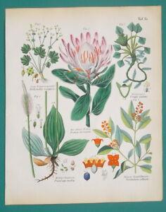MEDICINAL-PLANTS-Protea-Plantain-Sandalwood-Chestnut-1845-H-C-COLOR-Print