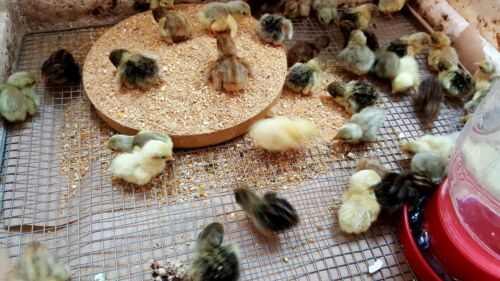 """Fertile Hatching Rare /""""Select/"""" Button Quail eggs. SPECIAL PRICING 15+ NPIP"""