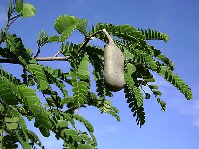Sauerdattel Tamarindenbaum 20 Samen Tamarindus indica auch Indische Dattel