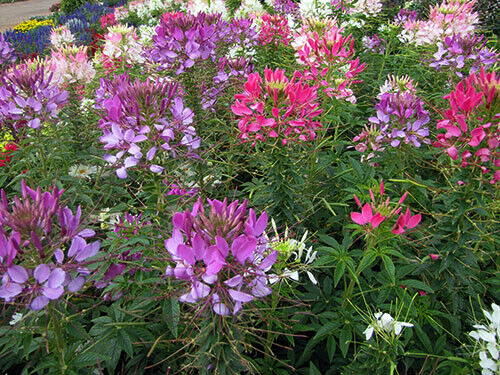with fragrant flowers x10seeds Cleome F1 Sparkler Mixed 1.2m Approx