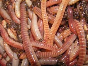 Image Is Loading European Nightcrawlers Amp Red Wiggler 30 Eisenia Hortensis