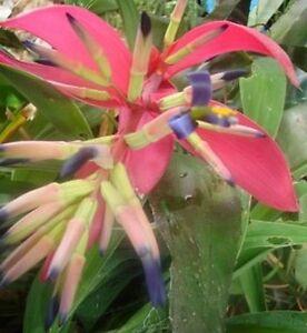 BROMELIAD-BILLBERGIA-5-for-20-00-Garden-Plant