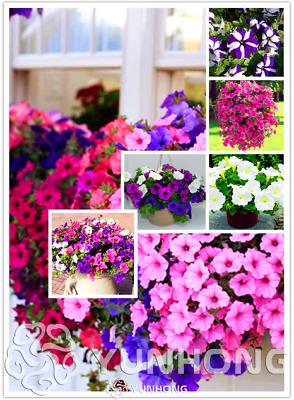 Bonsai Monarda Bidyma Mint Wild Bergamot Garden Flowers NEW 2019 I 100 PCS Seeds