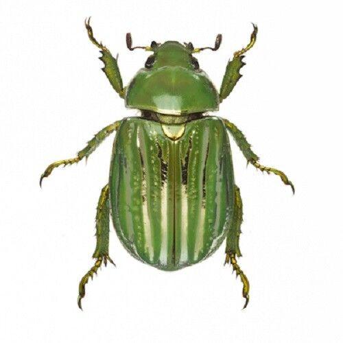 Real Beetle Looks Like 24K Gold Chrysina Plusiotis Resplendens Entomology Collectible In Shadowbox