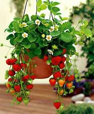 Large Hanging Strawberry Seeds Indoor Outdoor Plant Free Shipping 20 Seed