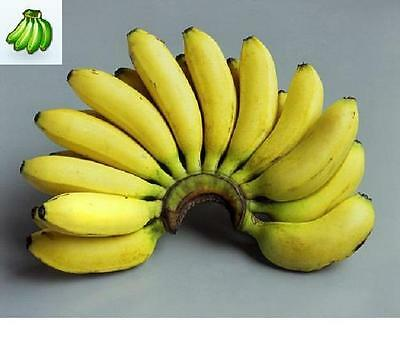 40 Banana Plant Seeds- Wild Edible Banana - Musa balbisiana