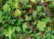 Certified Organic Mesclun mix Seed (1000ct) Mixed Greens Open Pollinated NON GMO