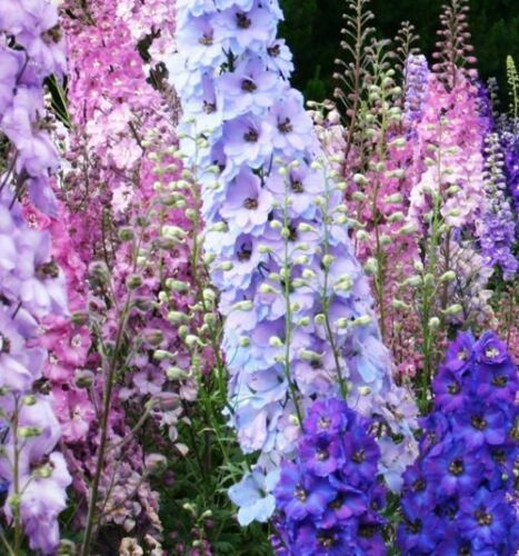 Colourful Rocket larkspur Seed 30 Seeds Consolida Ajacis Delphinium Flowers A231