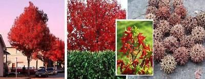 Garten & Terrasse Vornehm Winterh Nordamerikanischer Amberbaum Bis 40 Meter Hoch