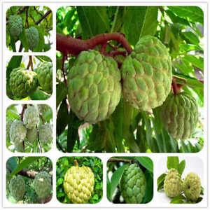 10-Seeds-Soursop-Annona-Sugar-apple-Sweetsop-Fruit-Trees-Edible-Rare-Kinds-Plant