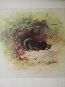 Tierwelt Aufdruck~Maulwurf~Thornburn
