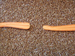 """2,000 Live Mealworms """"ALL ORGANIC"""" MED/LARGE """"READ LIVE ARRIVAL GUARANTEE"""""""