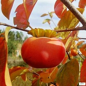 Fuyu-Persimmon-Tree-Kaki-Asian-Orange-Sweet-Fruit-Plant-Full-Sun-Partial-Shade
