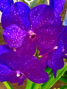 Vanda Hybride ´Hyper Spots´  NEW blühstark Orchidee Orchideen