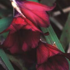 Dierama Blackbird (Angel's Fishing Rod) - 10 seeds. Graceful, arching perennial.