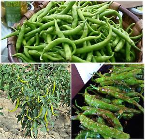 Pepper Sweet Chilli Graines Vert Long espagnol piparra Guindilla vasca Ibarra
