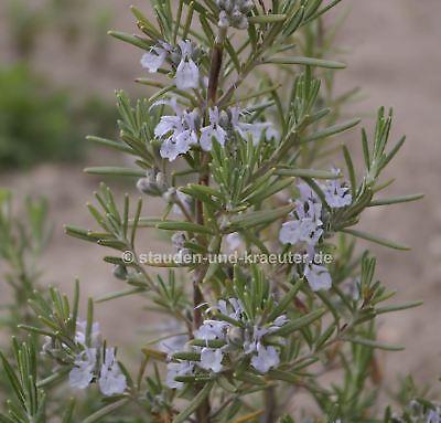 altissima #804 10 Samen Kreta-Melisse,Melissa officinalis ssp