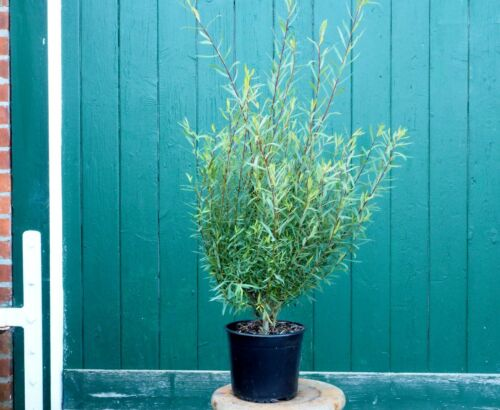 Kugelweide Salix purpurea /'Nana/' Gracilis 60-100 cm im 5 Liter Container