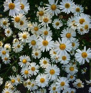 DAISY OX-EYE OXEYE Leucanthemum Vulgare 500 Seeds