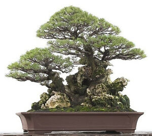 Horsetail-She-oak-Casuarina-equisetifolia-Seeds-Bonsai