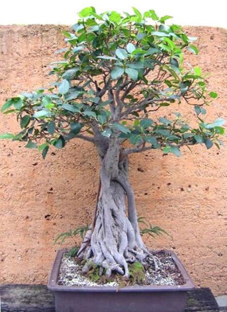 Moreton Bay Fig (Ficus macrophylla) - 150 Fresh Seeds collected from Moreton Bay