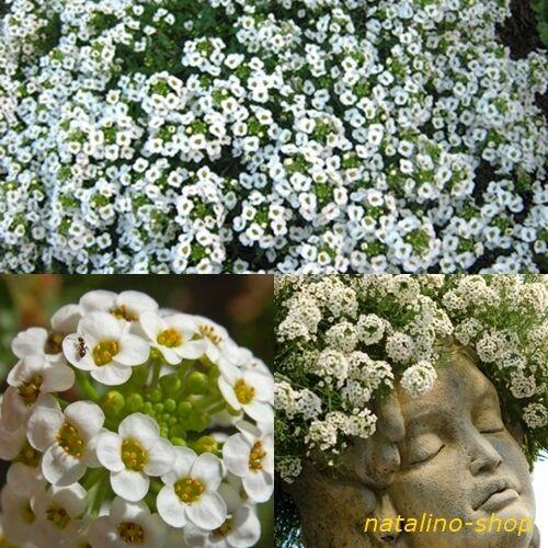 aussi pour balcon et encadré 200 alyssumsamen parfumée * Alyssum Blanc graines