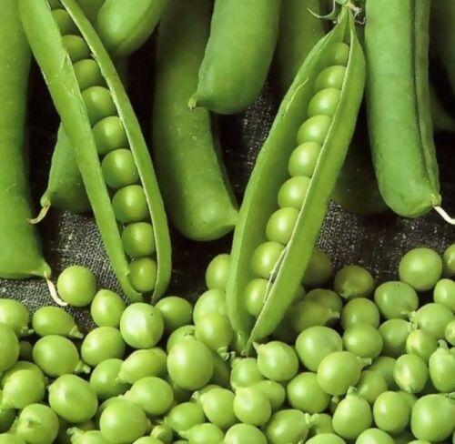 Graines de Pois Légume Leya Heirloom moyenne Early 35 graines
