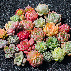 Assorted-Rosettes-Succulent-Plants-Mini-Fully-Rooted-in-Planter-Pots-with-Soil
