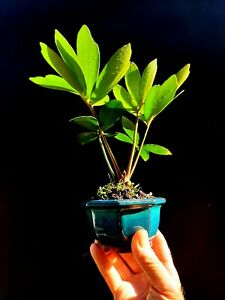 Bonsai Cardboard Palm Zamia Furfuracea Bonsai Tree Micro Bonsai Ebay