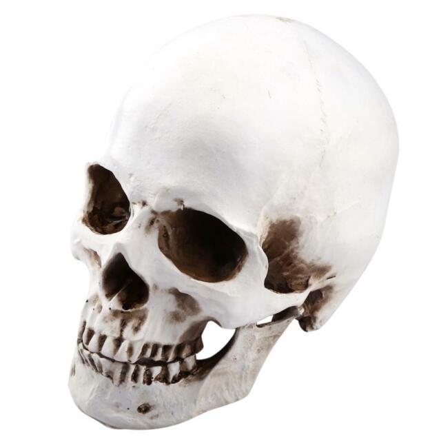 1pc Resin Human Skull Model Anatomical Head Medical Model Lifesize 1:1 Gift NEW
