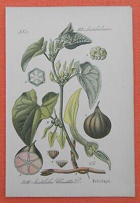 Osterluzei Aristolochia Clematitis Lithographie 1885 Heilpflanze Historisch