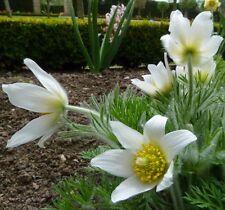 White Pasque Flower Amenone Pulsatilla Vulgaris 25 seeds *perennial* CombSH B32