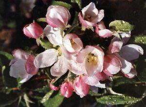 5-Wildapfel-Apfelbaum-Holzapfel-Malus-sylvestris-60-100-cm-wurzelnackt