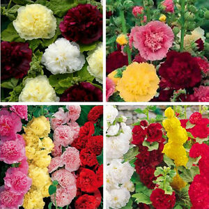 100Pc-Hollyhock-Summer-Carnival-Colorful-Chaters-Flower-Seeds-For-Garden-Decor