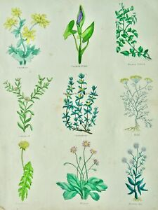 The Complete Herbal PLATE 6 Botanical illustration by Nicholas Culpeper c1850