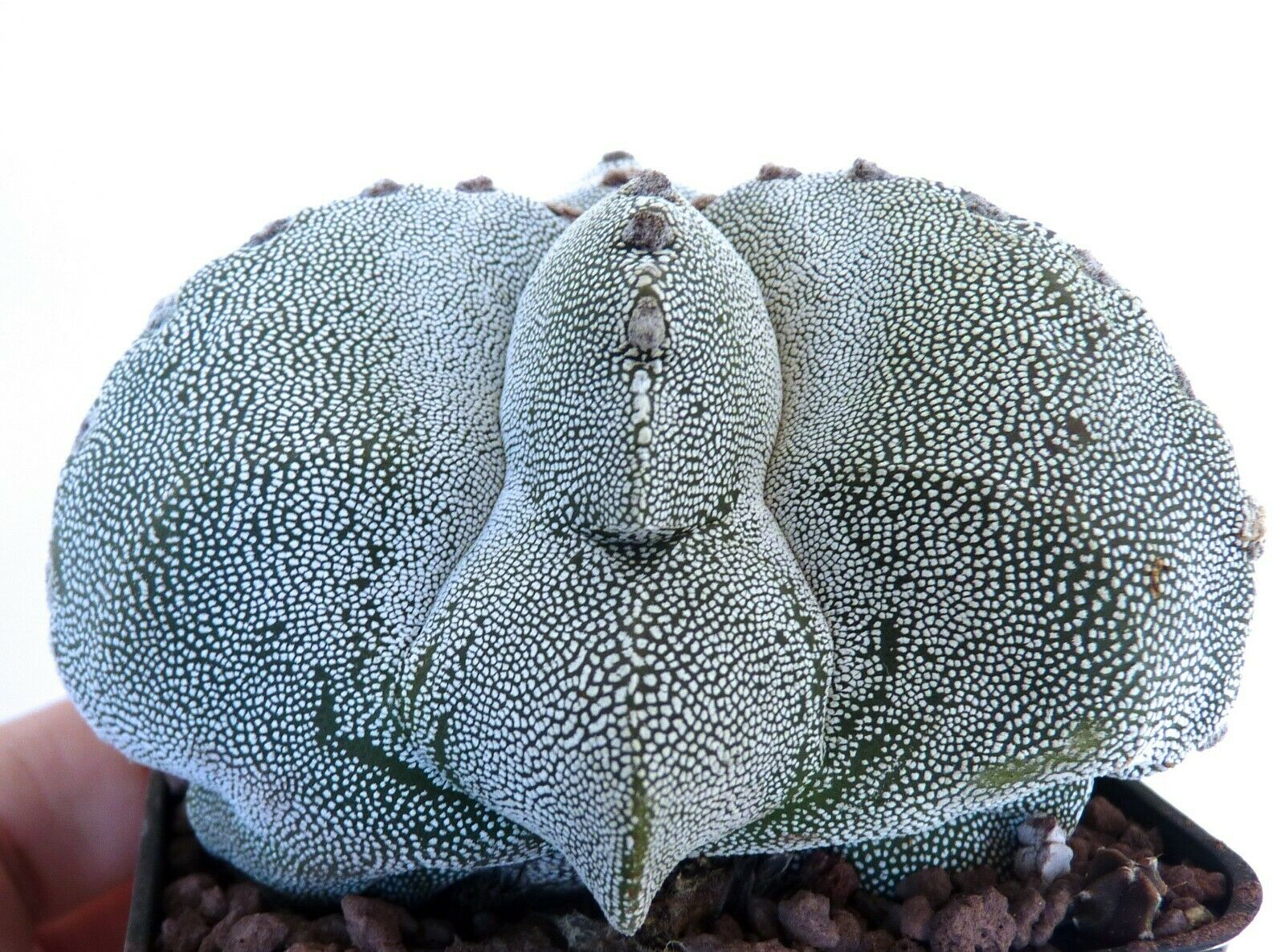BIGG Astrophytum cv ONZUKA tricostatum X KIKKO major     (ex Japan import) FR9
