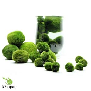 ALL-sizes-MARIMO-MOSS-BALLS-Cladophora-live-aquarium-plant-fish-tank-shrimp-nano