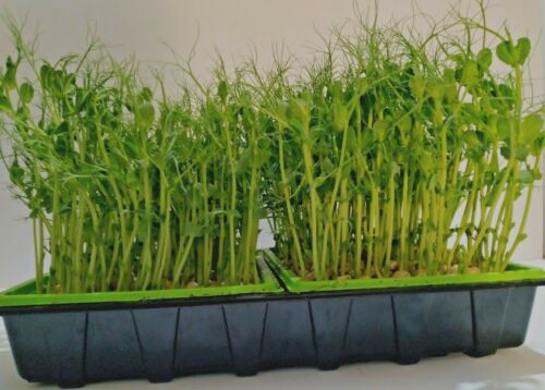 Details about  /Organic Blue Pea Seeds Sprouting Microgreen shoots