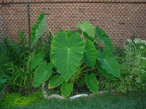 6 LIVE Colocasia Esculenta Elephant Ear Taro Gabi Kalo Bulbs READY to GROW