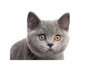 British-Shorthair-Kitten-Orange-Eyes-Photo-Art-Picture-Canvas-Print