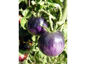 20-Tomaten-Samen-bosque-blue-Tomate-blau-schwarze-Tomate-ohne-Chemie