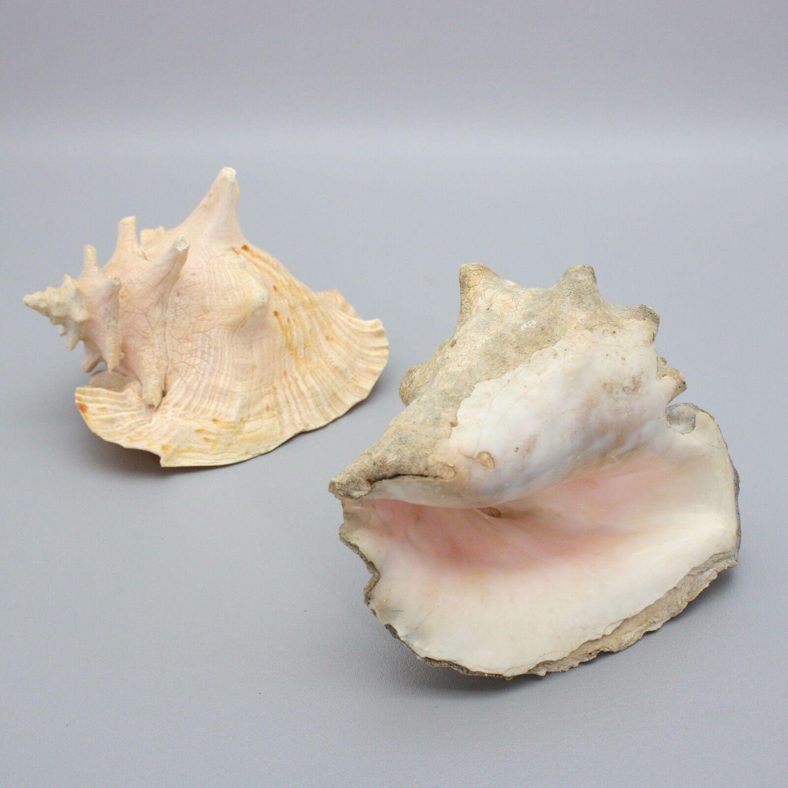 PC Shells 8 OZ Apprx.60 3//4 Inch ~ 1-1//4 Inch PEPPERLONELY White Natica Snail Sea Shells