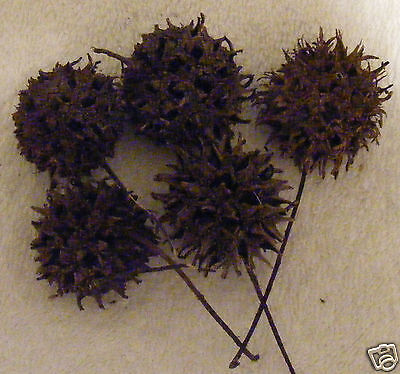 WITCHES BURR PODS - Wicca, Santeria, Hoodoo, Gothic