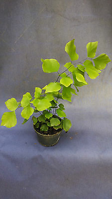 "ADIANTUM PERUVIANUM, THE SILVER DOLLAR MAIDENHAIR FERN, SHIPPED IN 4"" POT!"