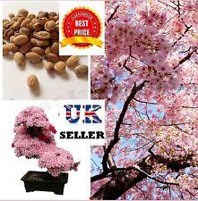 Flor De Cerezo Árbol Bonsai, japoneses Sakura semillas viables-Reino Unido Vendedor