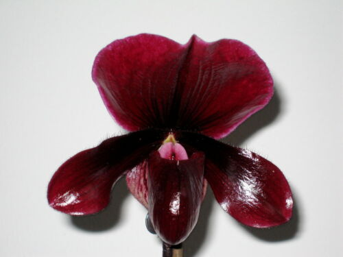 Paphiopedilum vinicolor ´Black Wine´Hybride blühstark Orchidee Orchideen