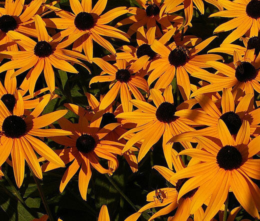 DAISY GLORIOSA Rudbeckia Gloriosa - 10,000 Bulk Seeds