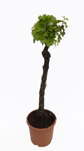 "Vitis vinifera /""Insola/"" 100-130 knorrige Weinrebe hell Weinstock Weintraube"