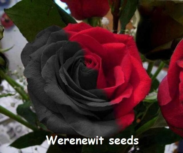 rose seeds collection on ebay, Beautiful flower