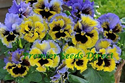 FLOWER PANSY WINTER FLOWERING FRIZZLE SIZZLE F1 YELLOW BLUE SWIRL 25 SEEDS